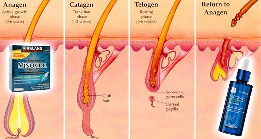 Minoxidil vs Stemoxydine Hair Growth Cycle